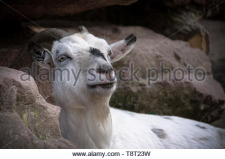 The domestic goat belongs to the genus of goats within the family of hornbearers - Stock Image
