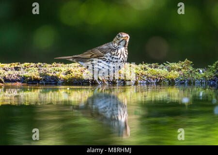 Song Thrush (Turdus philomelos)  reflected while bathing in a forest pool - Stock Image