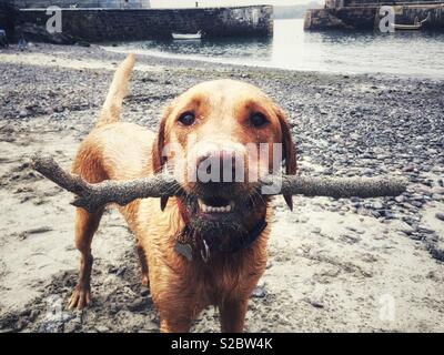 A very dirty dog with a stick in its mouth - Stock Image