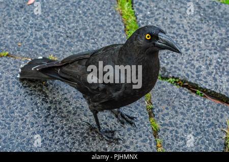 black currawong, tasmania, australia - Stock Image
