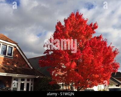 Red autumn leaves on tree in residential setting, Hampshire, UK. - Stock Image