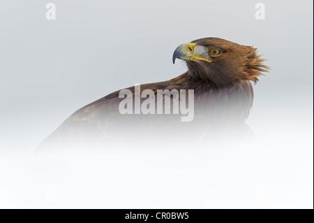 Golden eagle (Aquila chrysaetos) adult in snowy landscape. Cairngorms National Park, Scotland. Captive (falconer's) - Stock Image
