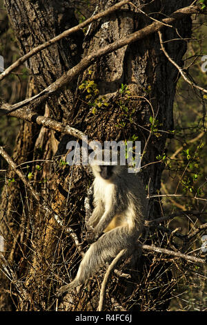 Vervet Monkey ( Chlorocebus pygerythrus ) sitting on tree branch, South Africa - Stock Image
