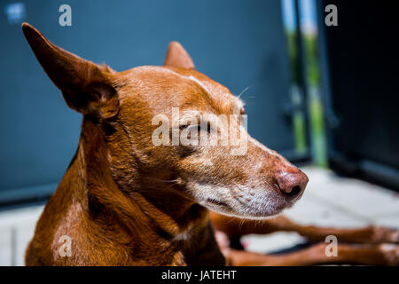 Cute 'Andalusian Hound' (Canis lupus familiaris) dog lying and relaxing on a terrace - Stock Image