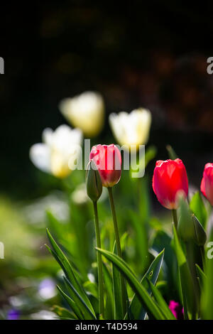 Colourful Tulips (Tulipa) flowering in Spring and back lit by low afternoon sunshine - Stock Image