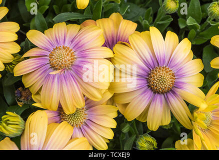 Osteospermum Serenity Blushing Beauty 'Balostush' (from Serenity Series) flowers in Summer in the UK. - Stock Image