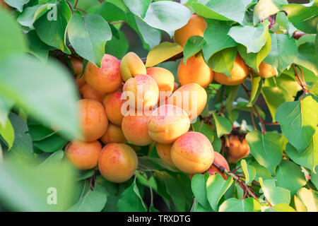Ripe apricots on the orchard tree. Nature background. - Stock Image
