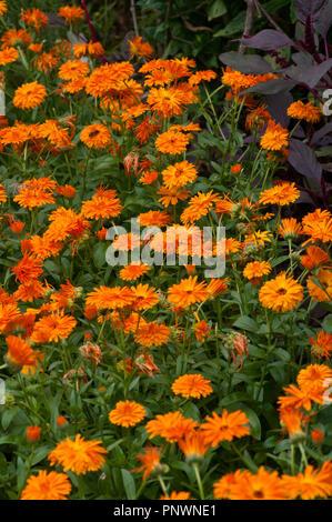 A bed Of Orange Rudbeckia - Stock Image