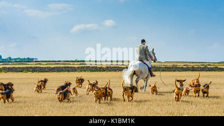 Cranwell Bloodhounds - Hound Exercise and Summer Ride with The Master plus the bloodhound pack - Stock Image