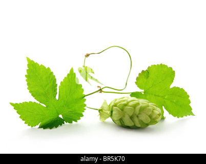 Cone and leaves of hop plant - Stock Image