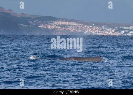 Female Sperm Whale, Physeter macrocephalus, or cachalot,surfacing with head showing, in front of Funchal, Madeira, - Stock Image