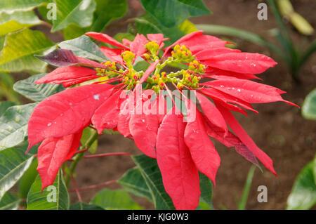 poinsettia plant plants house pot  Euphorbiaceae Euphorbia pulcherrima - Stock Image