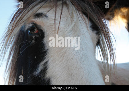Portrait of a Tinker horse. - Stock Image
