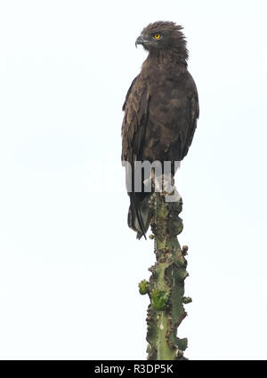A brown snake eagle (Circaetus cinereus) looks out from a convenient perch on a Euphorbia candelabra plant. Queen Elizabeth National Park, Uganda. - Stock Image