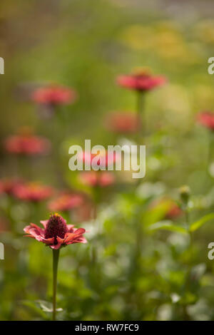 Red Zinnias in Garden - Stock Image