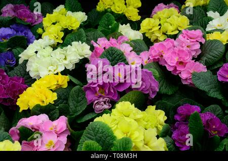 Primula double mix flowers mix in different colours double primrose - Stock Image