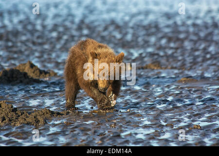 Small Grizzly Bear Spring Cub, Ursus arctos, clamming in the tidal flats of the Cook Inlet, Alaska, USA - Stock Image