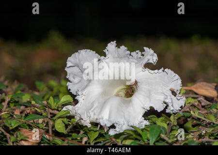 White Dolichandrone serrulata flower on the ground in Thailand, with honey bees on it - Stock Image