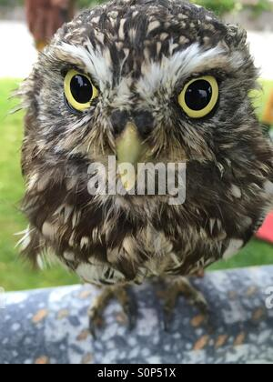 A Little Owl - Stock Image
