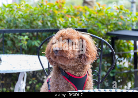 Brown poodle sitting on a chair at a table at an alfresco café. - Stock Image