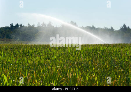 Irrigating the maize in a period of drought in the summer in the Netherlands - Stock Image