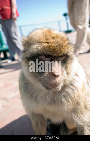 Gibraltar ape and visitors legs, Gibraltar, Europe, - Stock Image