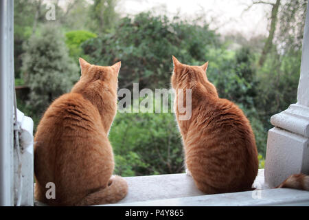 two ginger moggy tabby cats watching the gardens in London UK - Stock Image