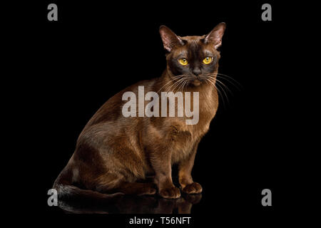 Brown Cat sitting and Gazing on isolated black background, side view, Sable Burmese - Stock Image