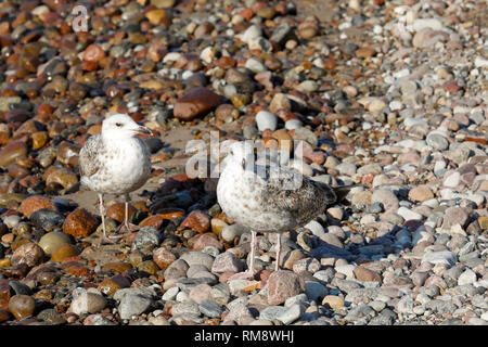 Two seagulls stand on the pebbles and look around. It is a stone part of the Baltic Sea beach in Kolobrzeg, Poland. - Stock Image