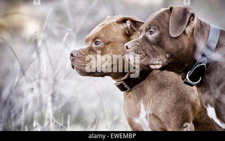 Two Staffordshire Bull Terrier dogs side by side profile in nature with a fixed gaze - Stock Image