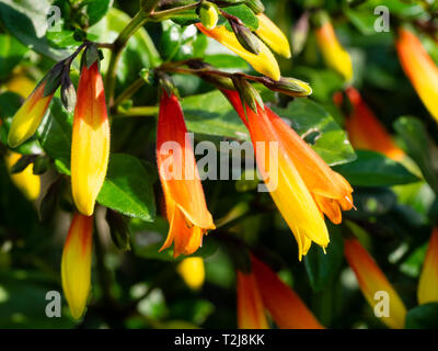 Tubular red and orange flowers of the tender, winter flowering  greenhouse plant, Justicia rizzinii - Stock Image