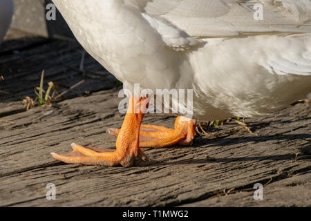 The orange legs and webbed feet of a white Pekin Duck - Stock Image