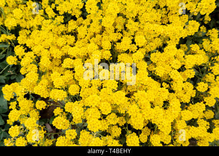 golden alison,corbeille d'or,Basket of Gold - Stock Image