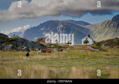 Farm houses and sheep near Hovsund on island Gimsøy on Lofoten in Norway. - Stock Image