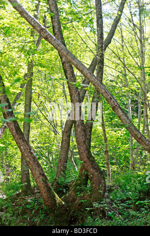 crossed tree trunks in a sunlit woodland of the Ambro Valley in Le Marche,the Marches,Italy - Stock Image