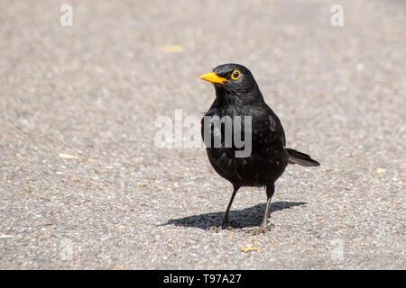 Male blackbird ( turdus merula) standing in sunlight on concrete footpath - Stock Image