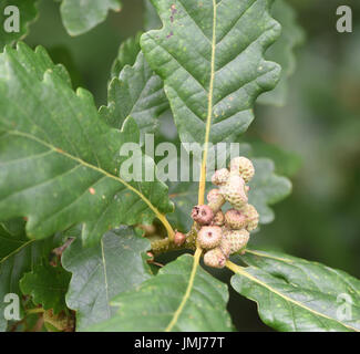 Newly formed immature acorns on a   Pedunculate or Common Oak (Quercus robur).   Bedgebury Forest, Kent, UK. - Stock Image