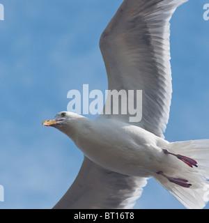 A Herring Gull in flight at Tynemouth, UK - Stock Image
