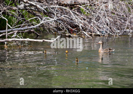 Lower Deschutes River Oregon Fly Fishing Trip in May - Stock Image