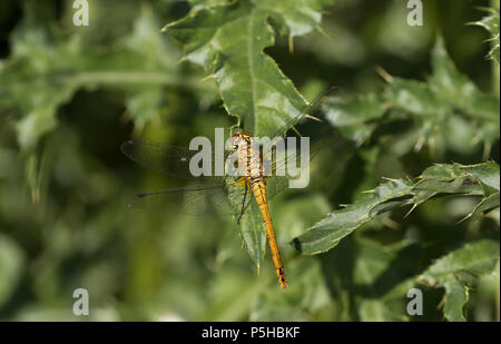 A female Ruddy Darter Dragonfly (Sympetrum sanguineum) resting in the sun at the Hickling Broad Norfolk Wildlife Trust reserve, UK. - Stock Image