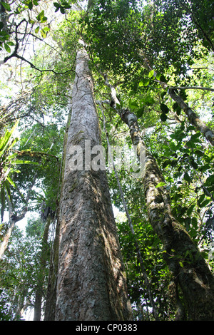 Rain Forest Trees, Mantadia National Park, Madagascar, Africa. - Stock Image