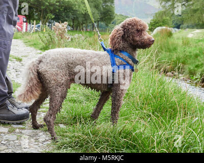 A chocolate Miniature Poodle on a lead with harness out for a walk in the English Countryside, UK. - Stock Image