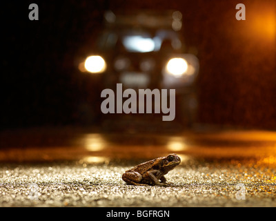 Cane toad on rainy night caught in car headlights - Stock Image