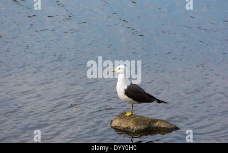Picture of a seagull on a stone - Stock Image