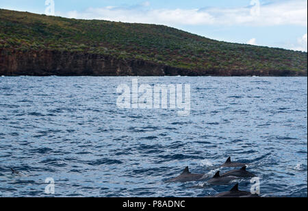 Wild Hawaiian Spinner dolphins, Stenella longirostris, swim freely off the coast of Lana'i. - Stock Image