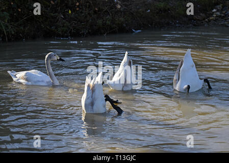 A group of 4 cygnet Bewick Swans (Cygnus bewickii) feeding in a shallow pond in Southern England - Stock Image