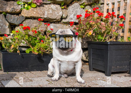 Mousehole, Cornwall, UK. 19th Apr, 2019. UK Weather. Titan the pug looking cool in his shades, ready for a scorching Easter Friday in Cornwall. Credit: Simon Maycock/Alamy Live News - Stock Image