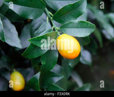 Fortunella margarita 'Nagami' Kumquat close up of fruit - Stock Image