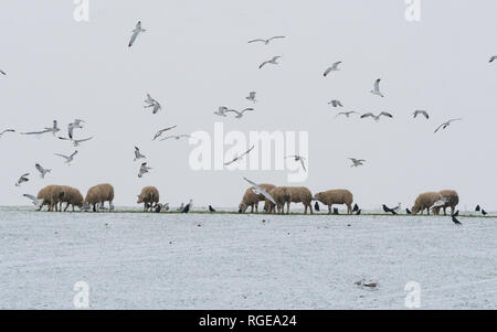 Stirlingshire, Scotland, UK. 29th Jan, 2019. UK weather - gulls and rooks take advantage of food put out for sheep this morning as the grass is once again covered by snow Credit: Kay Roxby/Alamy Live News - Stock Image
