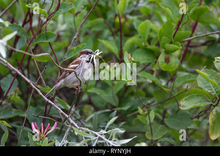 Adult Male House sparrow Passer domesticus with nesting material in its bill perching in a hedge - Stock Image